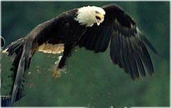 eagleak